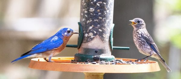 Eastern Bluebird and Juvenile