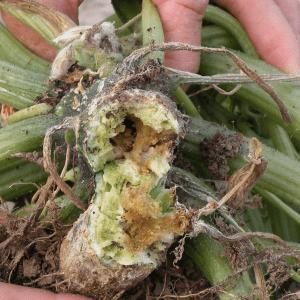 SVB larva