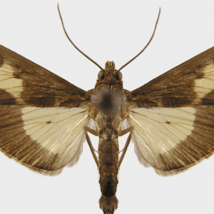 Pickleworm moth