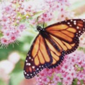 Figure 1. Monarch adult.