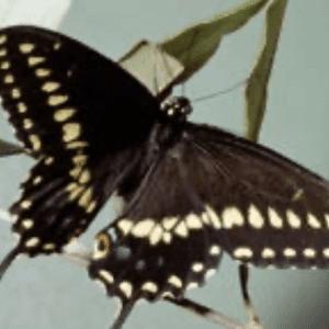 Figure 3. Black Swallowtail adult. Gerald J. Lenhard, www.ipmimages.org