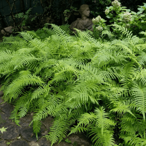 Figure 2. Southern shield fern as a ground cover for moist, shady areas provides an interesting foliage texture.