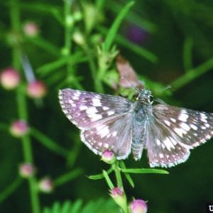 Figure 2. Checkered Skipper adult. Jerry A. Payne, USDA Agricultural Service, www.ipmimages.org