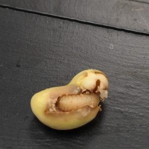 Cowpea Curculio Larva