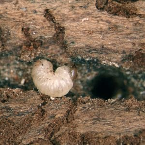 Figure 12. Bark or ambrosia beetle larvae are always legless, but have a head that contrasts with their body. (Photo credit: Whitney Cranshaw, Colorado State University, Bugwood.org)