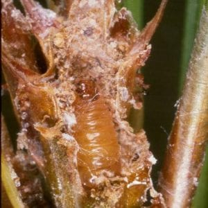 Figure 22. A few families of small moths have caterpillars that bore into the new shoots of trees and shrubs.