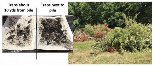 Figure 25. Trees infested with borers can be a source of new borers. The pheromone trap nearest to this pile at a nursery captured a large number of borers (carpenterworm moths).