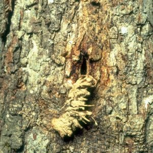 Figure 4. Some species such as the white oak borer expel frass or excrement through the entrance hole. (Photo credit: James Solomon, USDA Forest Service, Bugwood.org)