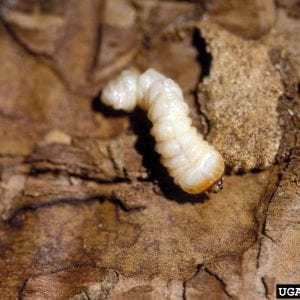 Figure 6. Redheaded ash borer larvae is an example of a roundheaded borer. (Photo credit: Daniel Herms, The Ohio State University, Bugwood.org)