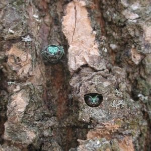 Figure 9. Emerald ash borer adults emerging from D-shaped exit holes, characteristic of borers in the family Buprestidae. (Photo credit: Debbie Miller, USDA Forest Service, Bugwood.org)