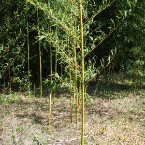 Figure 2. Running bamboos send up multiple culms along the rhizomes, which can extend many feet beyond the edge of the grove each year.