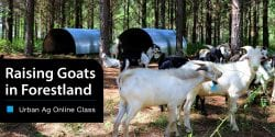 Raising Goats in Forestland