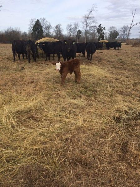 Cow-Calf Winter Feeding
