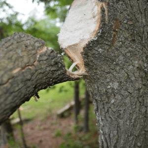 Damaged tree limb