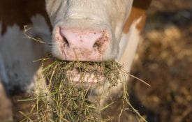 Close up of a cow eating hay