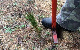 Planting Southern Pine Seedlings