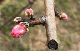 Peach Bud Photo