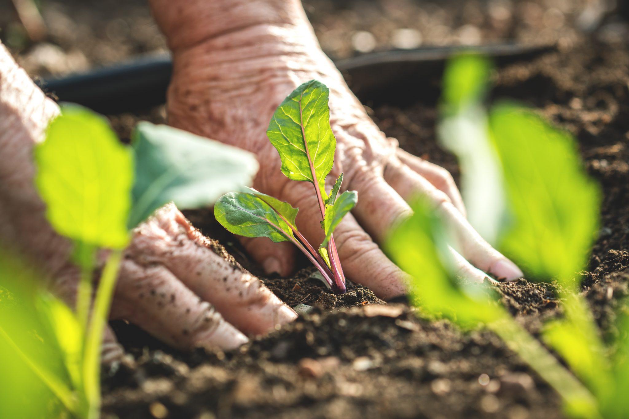 Elderly hands planting in a garden