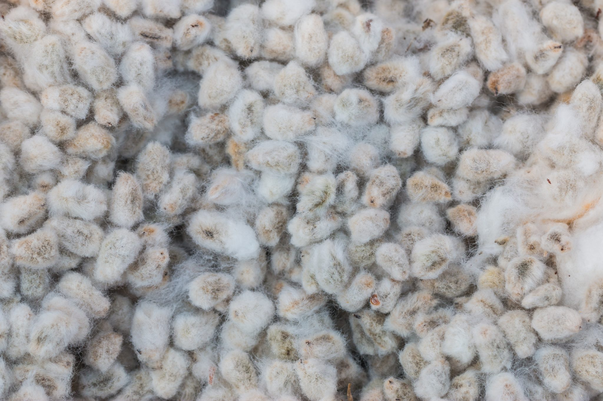 Whole cottonseed is one of many cotton byproducts.