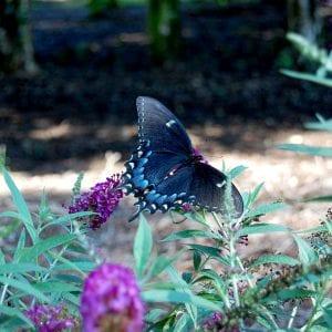 Figure 7. Butterfly bush.