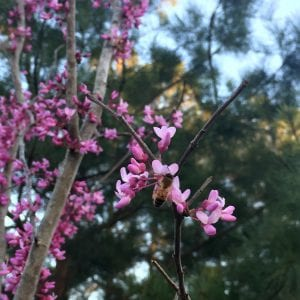 Figure 5. Eastern redbud in bloom.