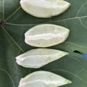 Figure 7. Internal warts and puncture wounds from Autauga County stink bug feeding.