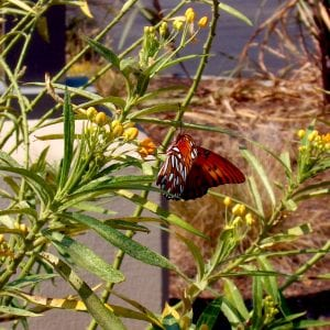 Figure 4. Butterfly weed.