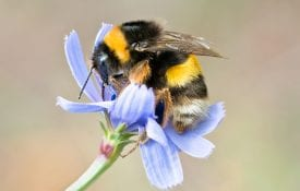 Bumblebee, pollinating and collecting nectar on a blue wild flower