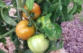 summer vegetables; tomatoes in raised bed garden