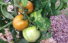 summer vegetables; tomatoes in raised bed garden