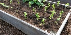 vegetables transplants in a raised bed