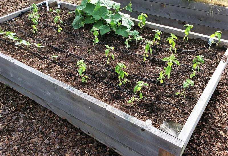 vegetables transplants in a raised bed