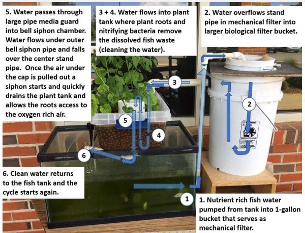 1. Nutrient rich fish water pumped from tank into 1-gallon bucket that serves as mechanical filters. 2. Water overflowers stand pipe in mechanical filter into larger biological filter bucket. 3+4. Water flows into plant tank where plant roots and nitrifying bacteria remove the dissolved fish waste (cleaning the water). 5. Water passes through large pipe media guard into bell siphon chamber. Water flows under outer bell siphon pip and falls over the center stand pipe. Once the air under the cap is pulled out a siphon starts and quickly drains the plant tank and allows the roots access to the oxygen rich air. 6. Clean water returns to the fish tank and the cycle starts again.