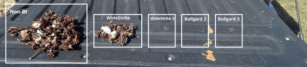 Figure 7. Damaged bolls collected from Bt sentinel plots in Brewton, Alabama (2020).
