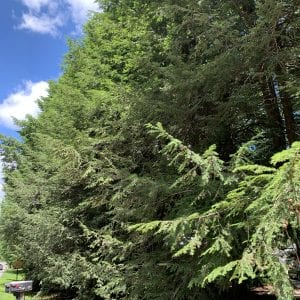 Figure 1. Hemlock trees are an evergreen found throughout the Appalachian Mountains and also planted in the landscape. Here, several mature (and HWA infected) hemlock trees that are of high aesthetic and ornamental value serve as a screen between a home and roadway.