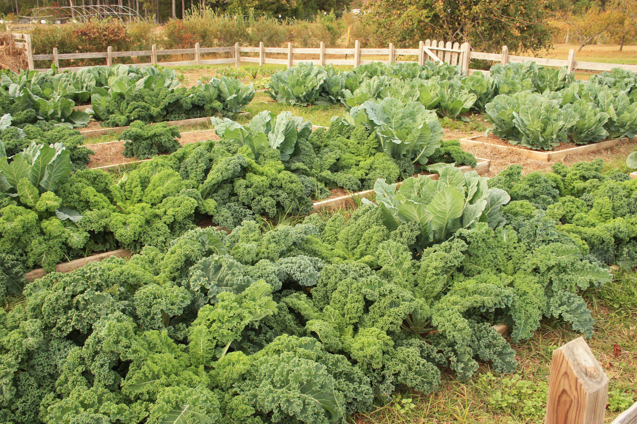 Kale and Cabbage in Raised Garden Beds