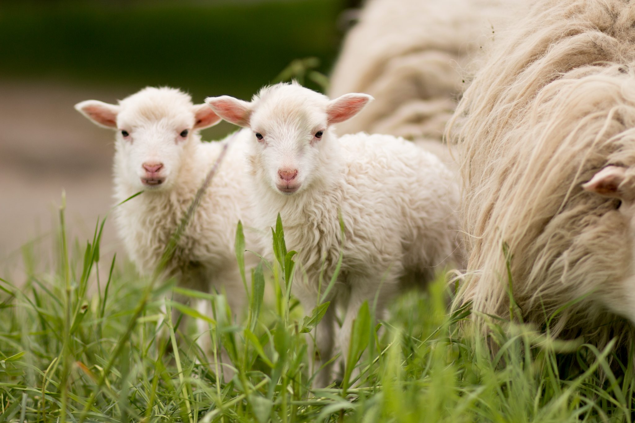 Sheep kids