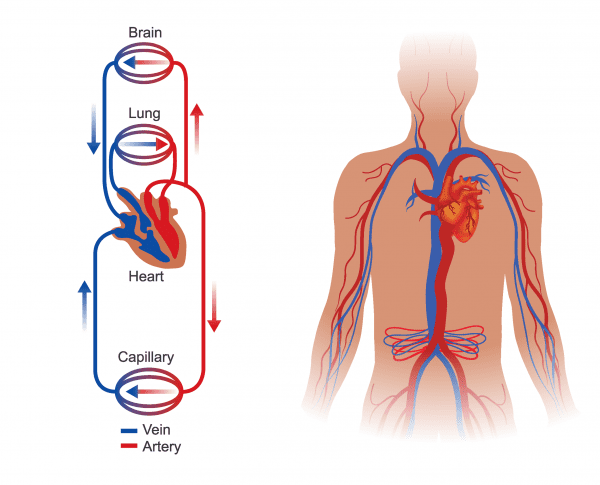 Illustration of Vein and Artery paths to and from heart.
