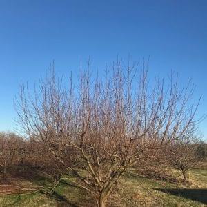 Mature peach tree before pruning.