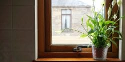 peace lily in a window; house plant