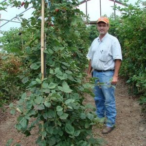 Figure 2. Blackberries grown under a high tunnel.