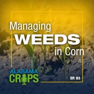 Managing Weeds in Corn - Alabama Crops EP.03