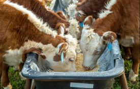 Hereford Calves Eating Corn From Feed Bunk