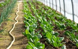 Rows of little spinach growing in greenhouse