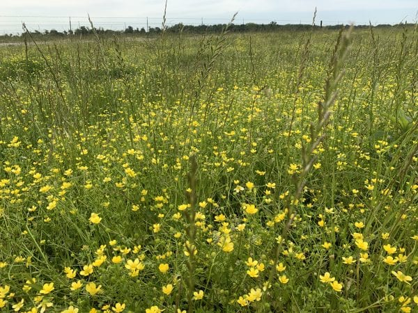 Figure 1. Buttercup flowers in mixed grass pasture.