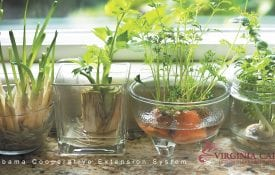 Kitchen scraps from green onion, celery and carrots are growing on a windowsill