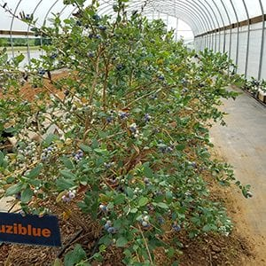 Figure 4. Southern highbush blueberries grown under high tunnel. (Photo credit: Reza Rafie and Christopher Mullis, Virginia State University)
