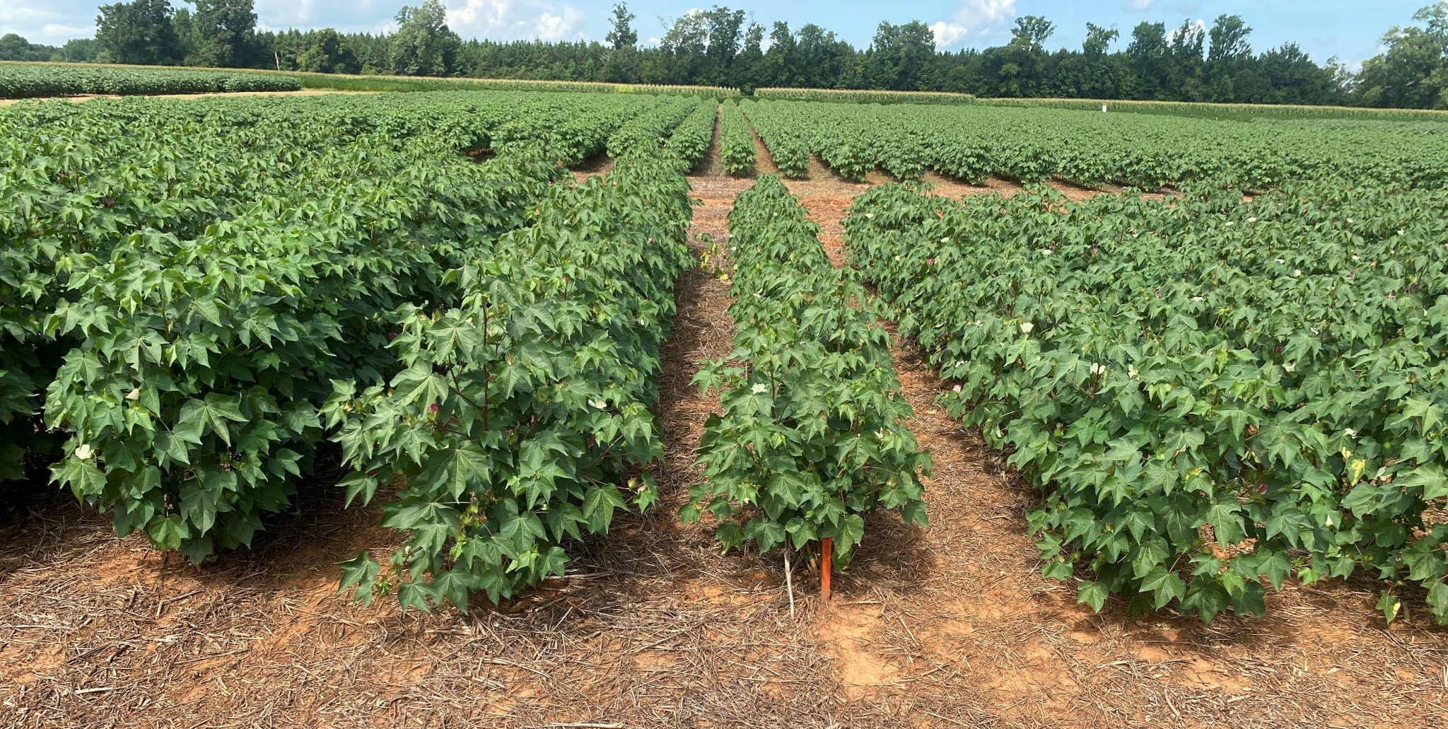 thrips effects on cotton plants