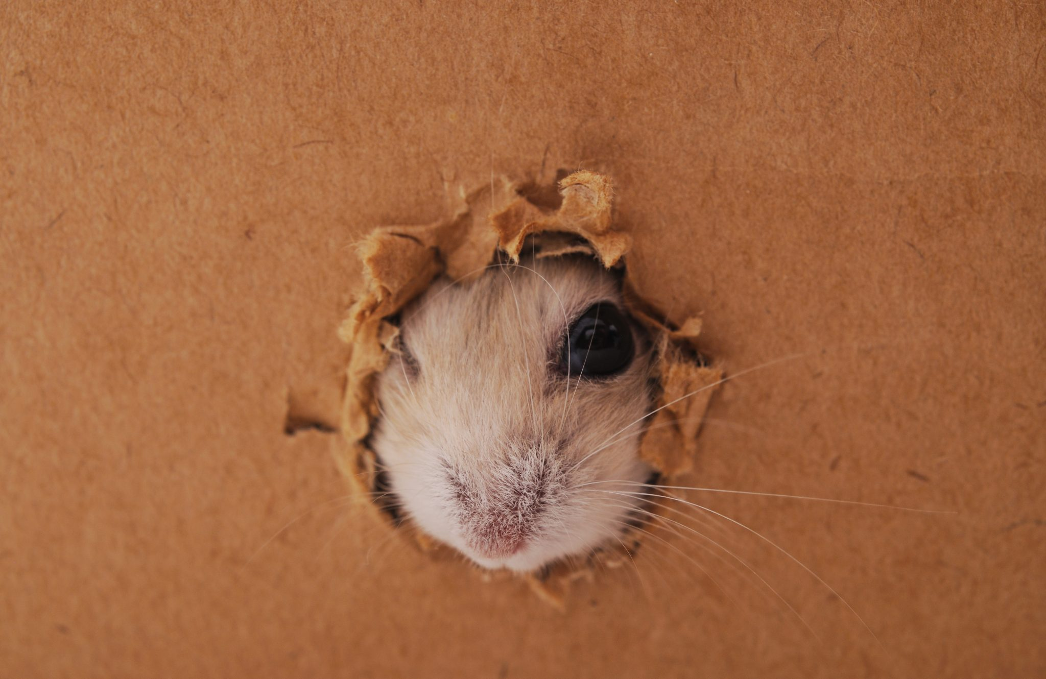 Rodent chewing a hole in a box
