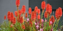 Figure 10. Torch Lily. iStock photo by beekeepx